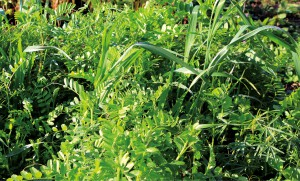 Растения сидераты — зеленые помощники